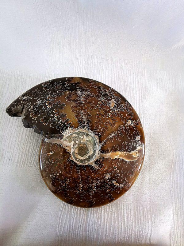 Ammonite fougère de Madagascar